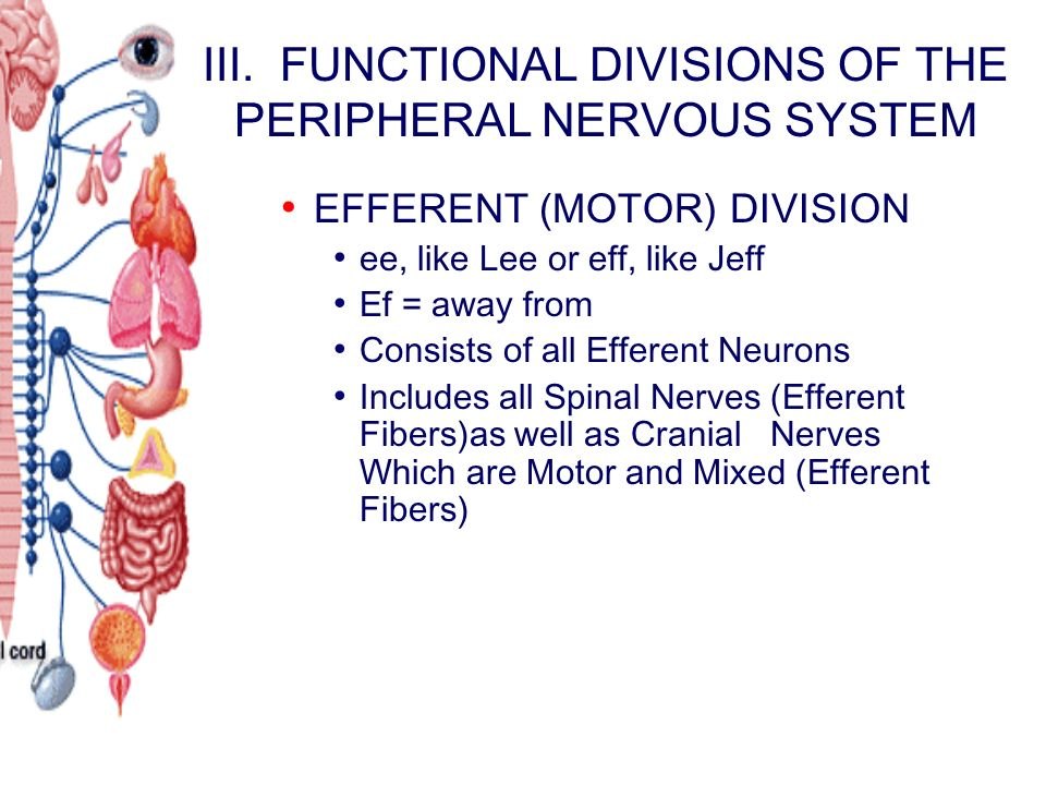 III. FUNCTIONAL DIVISIONS OF THE PERIPHERAL NERVOUS SYSTEM EFFERENT (MOTOR) DIVISION ee, like Lee or eff, like Jeff Ef = away from Consists of all Eff