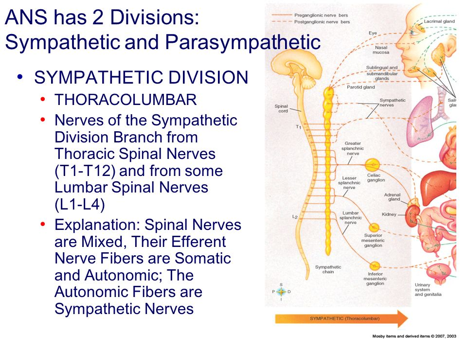 ANS has 2 Divisions: Sympathetic and Parasympathetic SYMPATHETIC DIVISION THORACOLUMBAR Nerves of the Sympathetic Division Branch from Thoracic Spinal Nerves (T1T12) and from some Lumbar Spinal Nerves (L1L4) Explanation: Spinal Nerves are Mixed, Their Efferent Nerve Fibers are Somatic and Autonomic; The Autonomic Fibers are Sympathetic Nerves