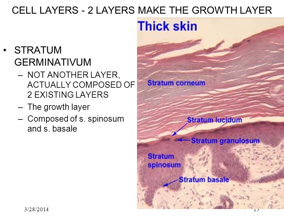 3/28/201415 CELL LAYERS 2 LAYERS MAKE THE GROWTH LAYER STRATUM GERMINATIVUM –NOT ANOTHER LAYER, ACTUALLY COMPOSED OF 2 EXISTING LAYERS –The growth lay