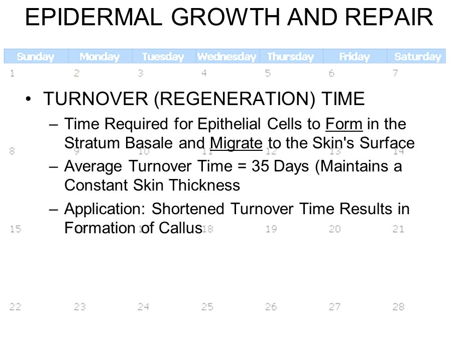 3/28/201416 EPIDERMAL GROWTH AND REPAIR TURNOVER (REGENERATION) TIME –Time Required for Epithelial Cells to Form in the Stratum Basale and Migrate to
