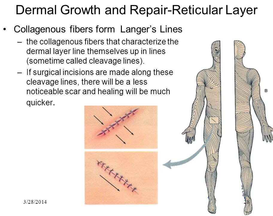 3/28/201428 Dermal Growth and Repair-Reticular Layer Collagenous fibers form Langers Lines –the collagenous fibers that characterize the dermal layer