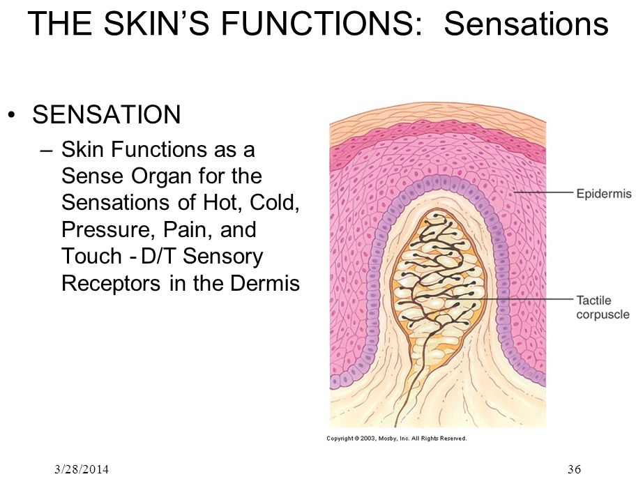 3/28/201436 THE SKINS FUNCTIONS: Sensations SENSATION –Skin Functions as a Sense Organ for the Sensations of Hot, Cold, Pressure, Pain, and Touch -D/T