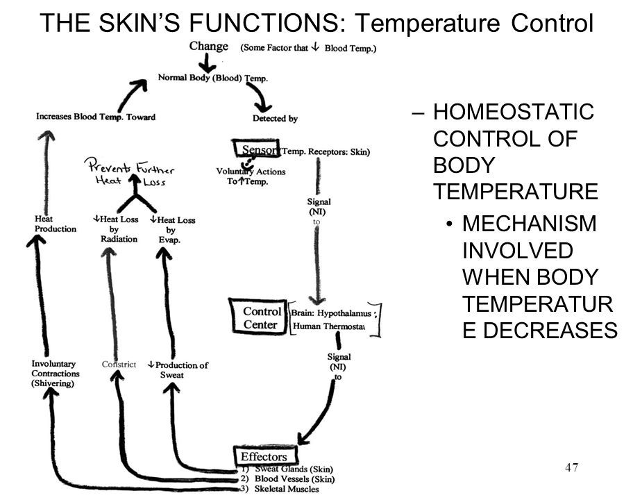 3/28/201447 THE SKINS FUNCTIONS: Temperature Control –HOMEOSTATIC CONTROL OF BODY TEMPERATURE MECHANISM INVOLVED WHEN BODY TEMPERATUR E DECREASES