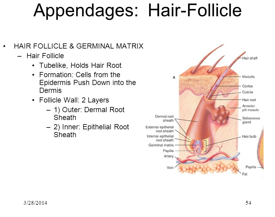 3/28/201454 Appendages: Hair-Follicle HAIR FOLLICLE & GERMINAL MATRIX –Hair Follicle Tubelike, Holds Hair Root Formation: Cells from the Epidermis Pus