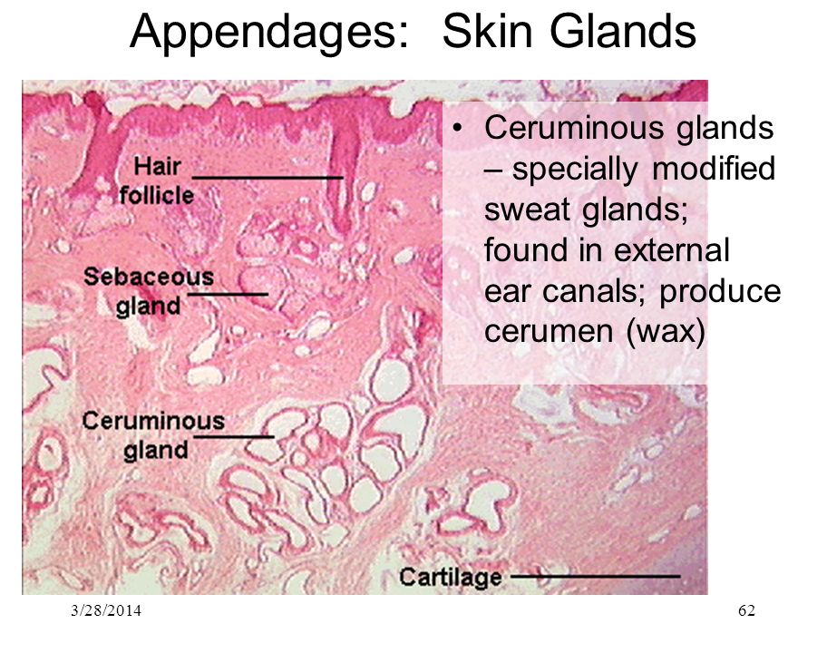 3/28/201462 Appendages: Skin Glands Ceruminous glands – specially modified sweat glands; found in external ear canals; produce cerumen (wax)
