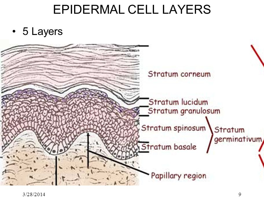 3/28/20149 EPIDERMAL CELL LAYERS 5 Layers