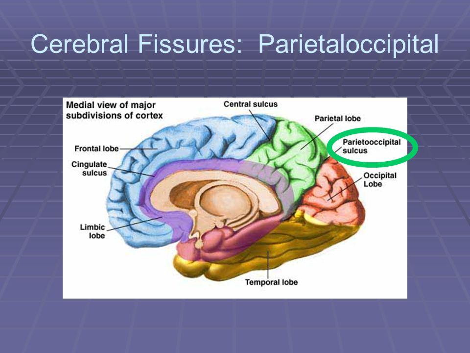Cerebral Fissures: Parietaloccipital