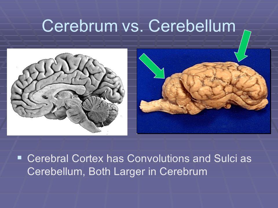 Cerebrum vs. Cerebellum Cerebral Cortex has Convolutions and Sulci as Cerebellum, Both Larger in Cerebrum