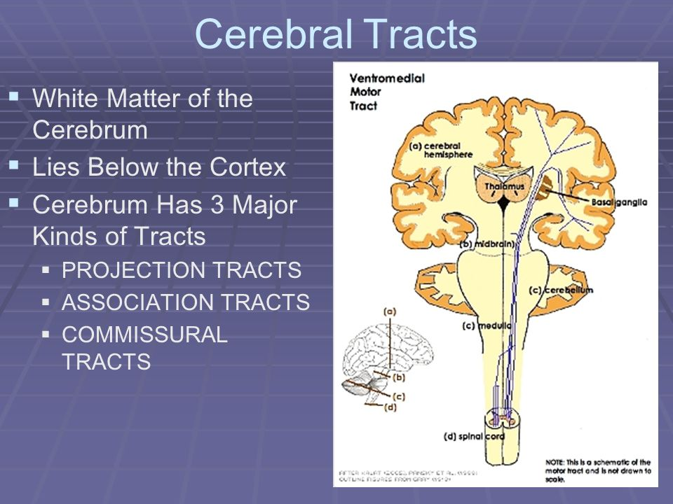 Cerebral Tracts White Matter of the Cerebrum Lies Below the Cortex Cerebrum Has 3 Major Kinds of Tracts PROJECTION TRACTS ASSOCIATION TRACTS COMMISSUR