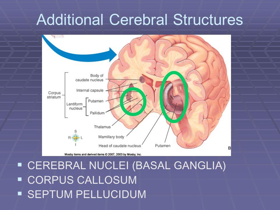 Additional Cerebral Structures CEREBRAL NUCLEI (BASAL GANGLIA) CORPUS CALLOSUM SEPTUM PELLUCIDUM