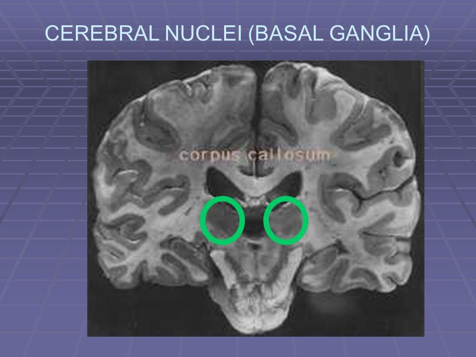 CEREBRAL NUCLEI (BASAL GANGLIA)