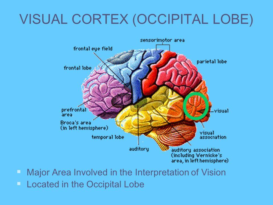 VISUAL CORTEX (OCCIPITAL LOBE) Major Area Involved in the Interpretation of Vision Located in the Occipital Lobe