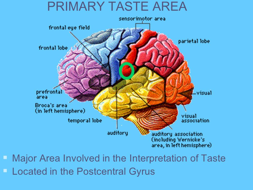 PRIMARY TASTE AREA Major Area Involved in the Interpretation of Taste Located in the Postcentral Gyrus