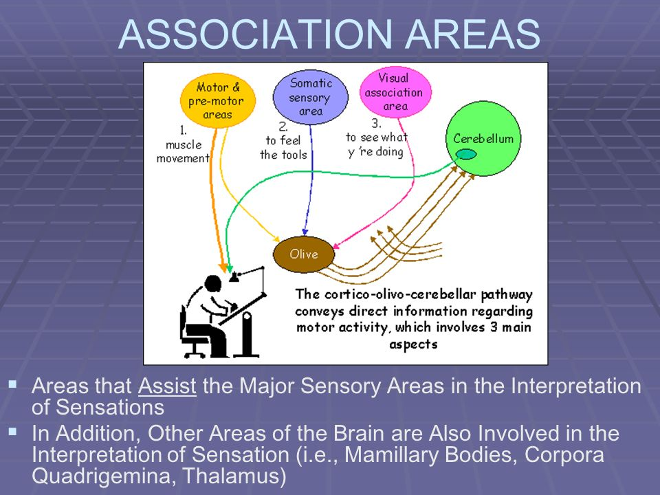ASSOCIATION AREAS Areas that Assist the Major Sensory Areas in the Interpretation of Sensations In Addition, Other Areas of the Brain are Also Involve
