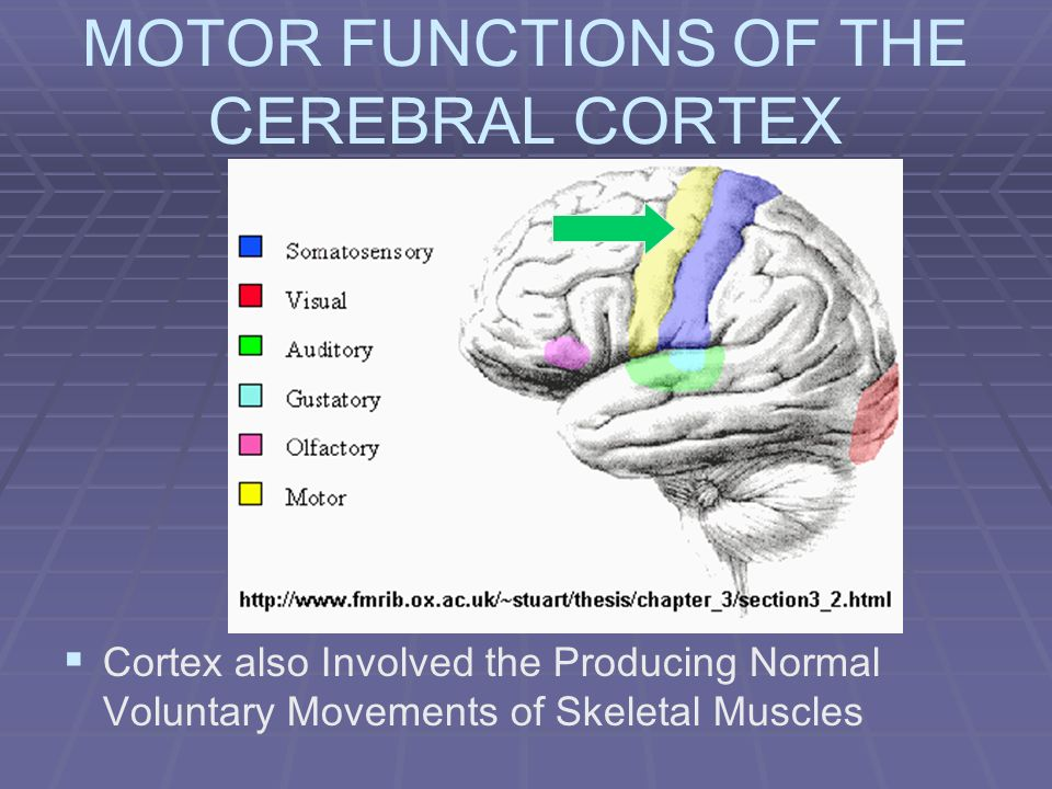 MOTOR FUNCTIONS OF THE CEREBRAL CORTEX Cortex also Involved the Producing Normal Voluntary Movements of Skeletal Muscles