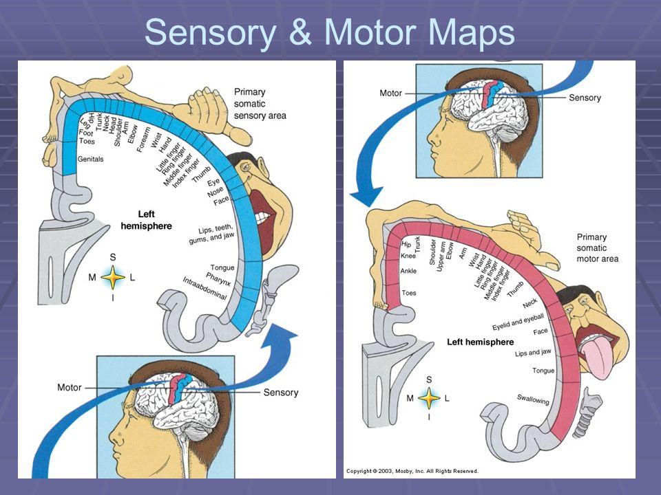 Sensory & Motor Maps
