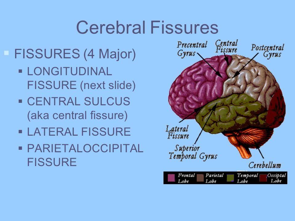 Cerebral Fissures FISSURES (4 Major) LONGITUDINAL FISSURE (next slide) CENTRAL SULCUS (aka central fissure) LATERAL FISSURE PARIETALOCCIPITAL FISSURE