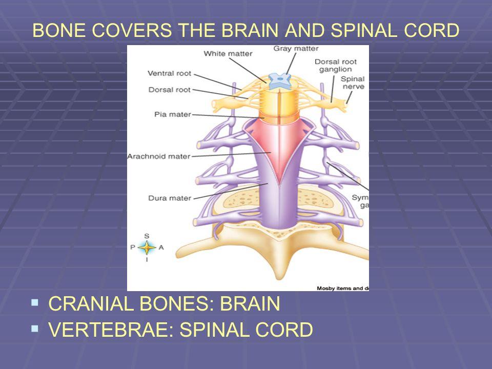 BONE COVERS THE BRAIN AND SPINAL CORD CRANIAL BONES: BRAIN VERTEBRAE: SPINAL CORD