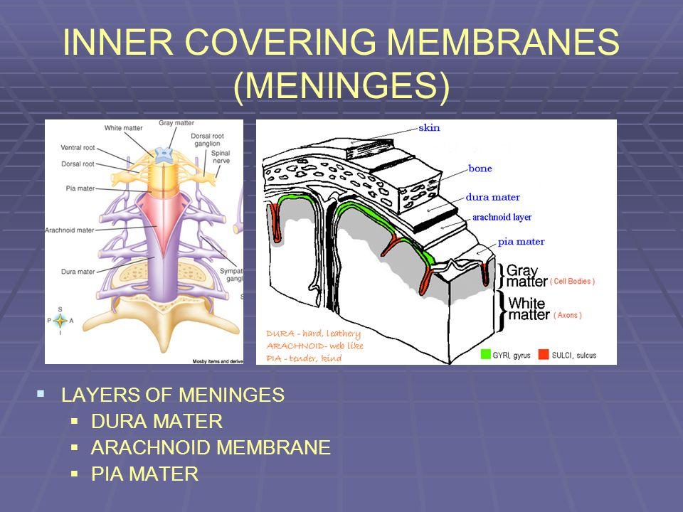 INNER COVERING MEMBRANES (MENINGES) LAYERS OF MENINGES DURA MATER ARACHNOID MEMBRANE PIA MATER
