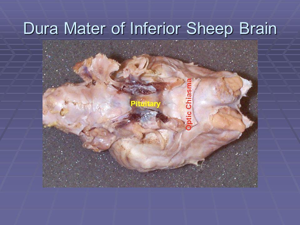 Dura Mater of Inferior Sheep Brain Pituitary Optic Chiasma