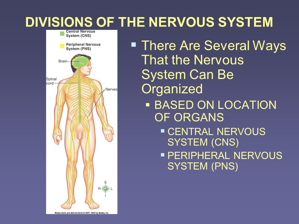 DIVISIONS OF THE NERVOUS SYSTEM Organs centrally located CENTRAL NERVOUS SYSTEM (CNS) BRAIN SPINAL CORD