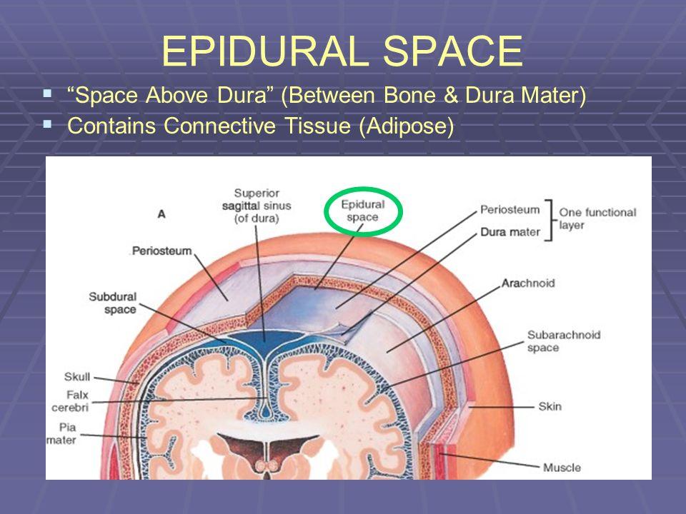 EPIDURAL SPACE Space Above Dura (Between Bone & Dura Mater) Contains Connective Tissue (Adipose)