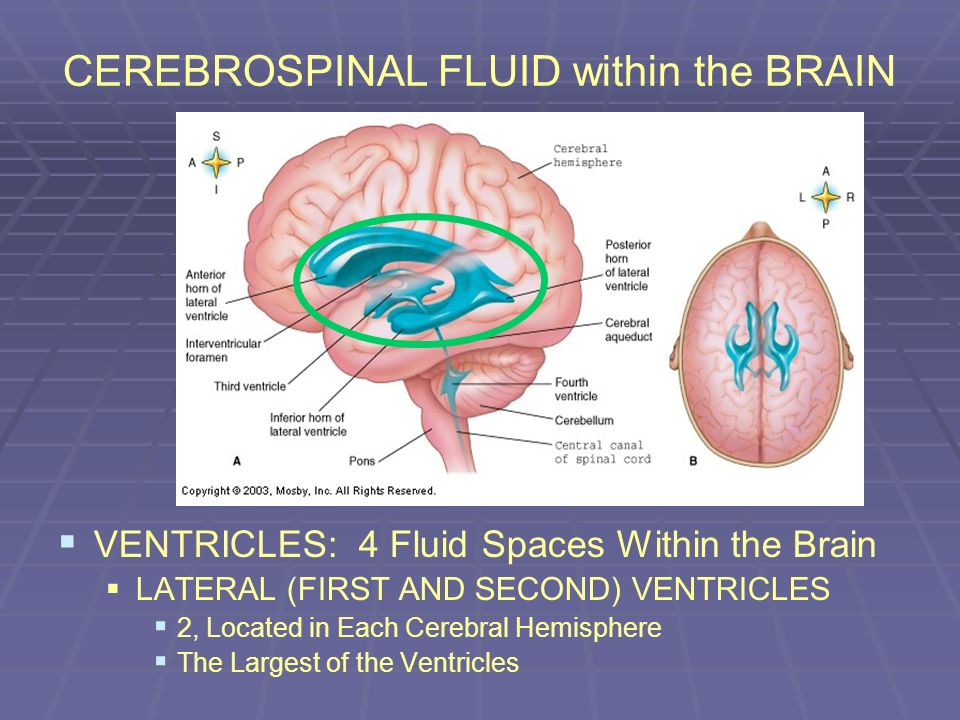 CEREBROSPINAL FLUID within the BRAIN VENTRICLES: 4 Fluid Spaces Within the Brain LATERAL (FIRST AND SECOND) VENTRICLES 2, Located in Each Cerebral Hem