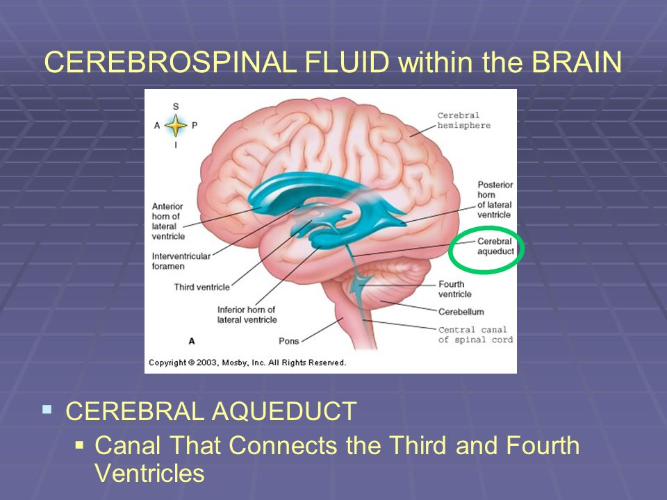 CEREBROSPINAL FLUID within the BRAIN CEREBRAL AQUEDUCT Canal That Connects the Third and Fourth Ventricles