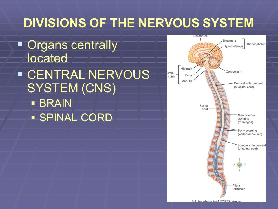Spinal Cord Cross Section http://www.uoguelph.ca/zoology/devobio/210labs/ecto2.html