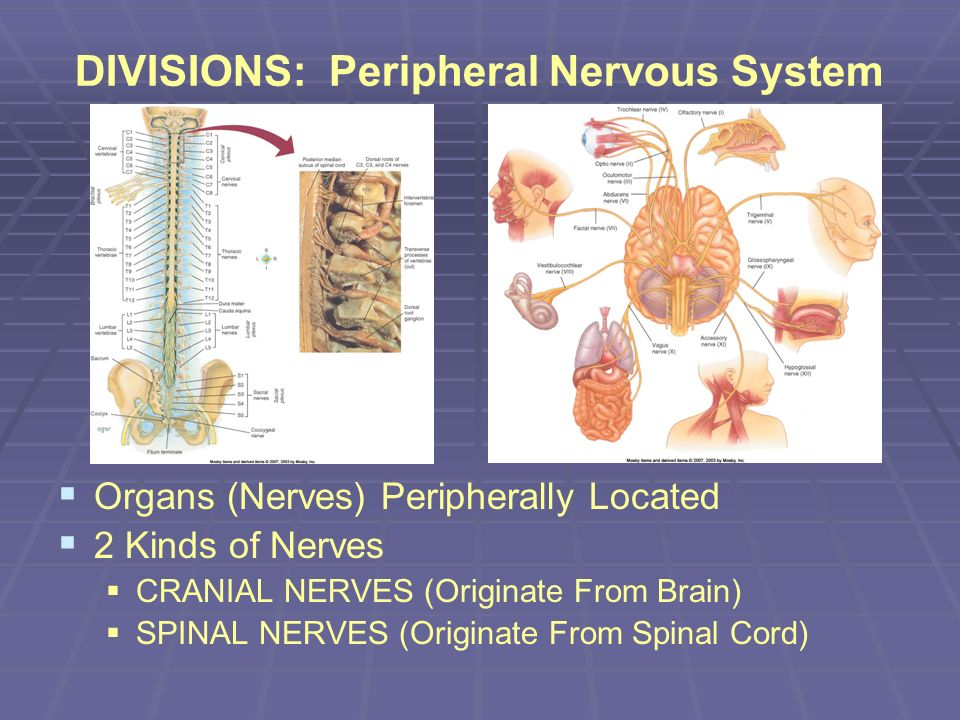 DIVISIONS: Peripheral Nervous System Organs (Nerves) Peripherally Located 2 Kinds of Nerves CRANIAL NERVES (Originate From Brain) SPINAL NERVES (Origi