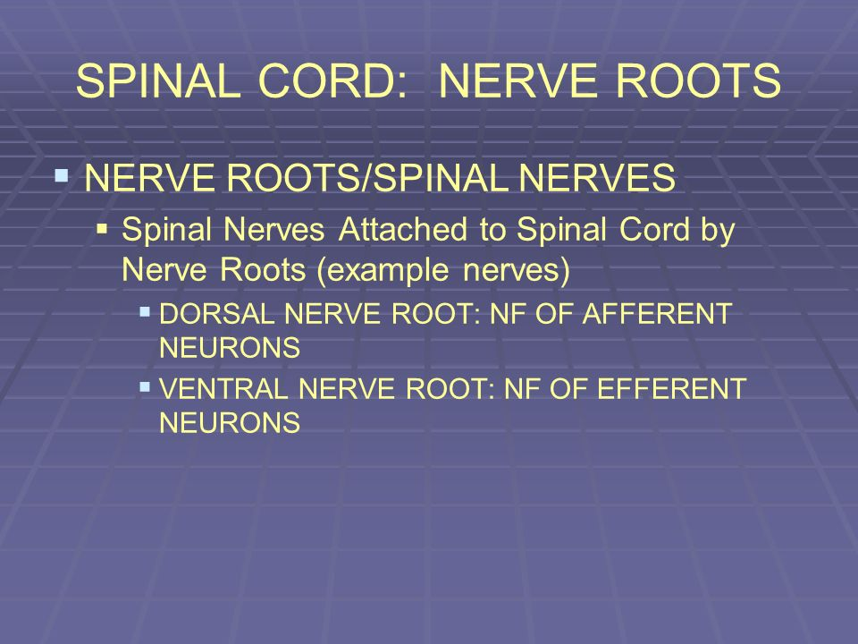 SPINAL CORD: NERVE ROOTS NERVE ROOTS/SPINAL NERVES Spinal Nerves Attached to Spinal Cord by Nerve Roots (example nerves) DORSAL NERVE ROOT: NF OF AFFE