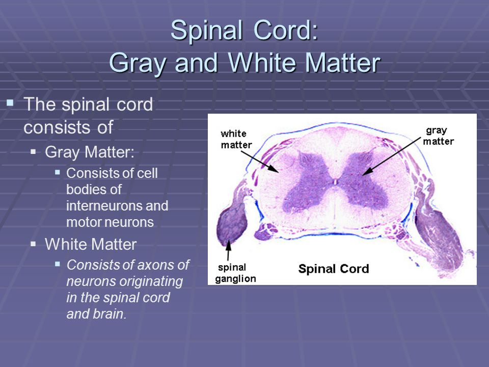 Spinal Cord: Gray and White Matter The spinal cord consists of Gray Matter: Consists of cell bodies of interneurons and motor neurons White Matter Con