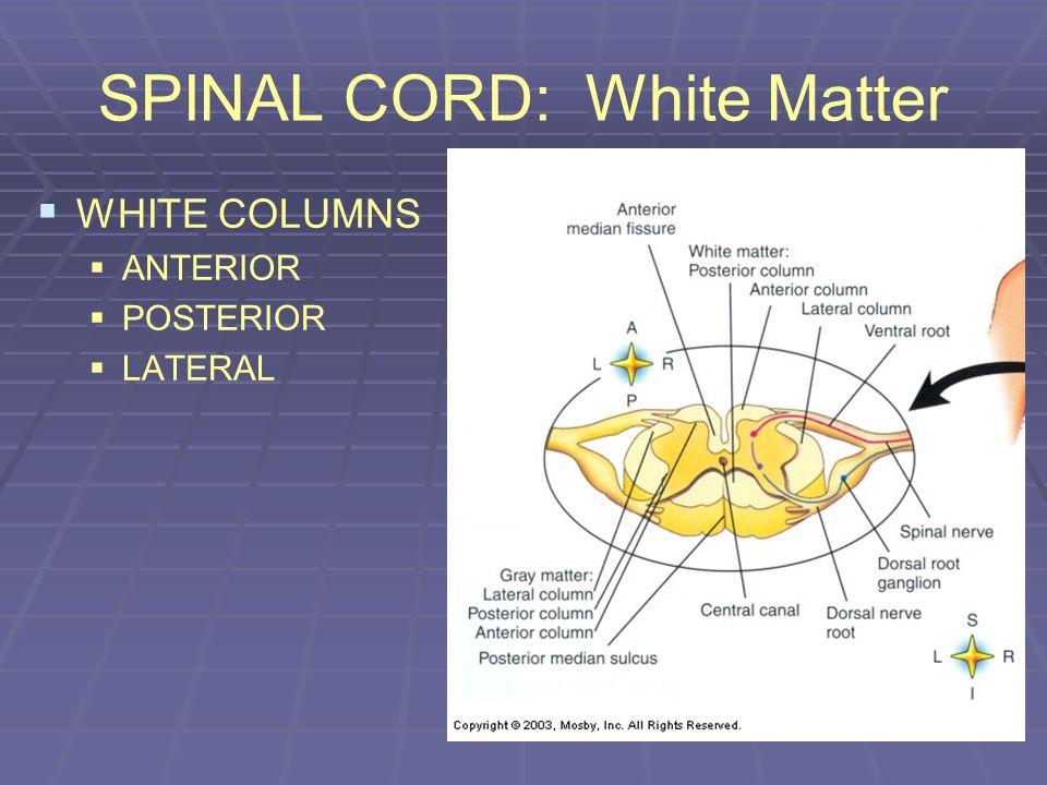 SPINAL CORD: White Matter WHITE COLUMNS ANTERIOR POSTERIOR LATERAL
