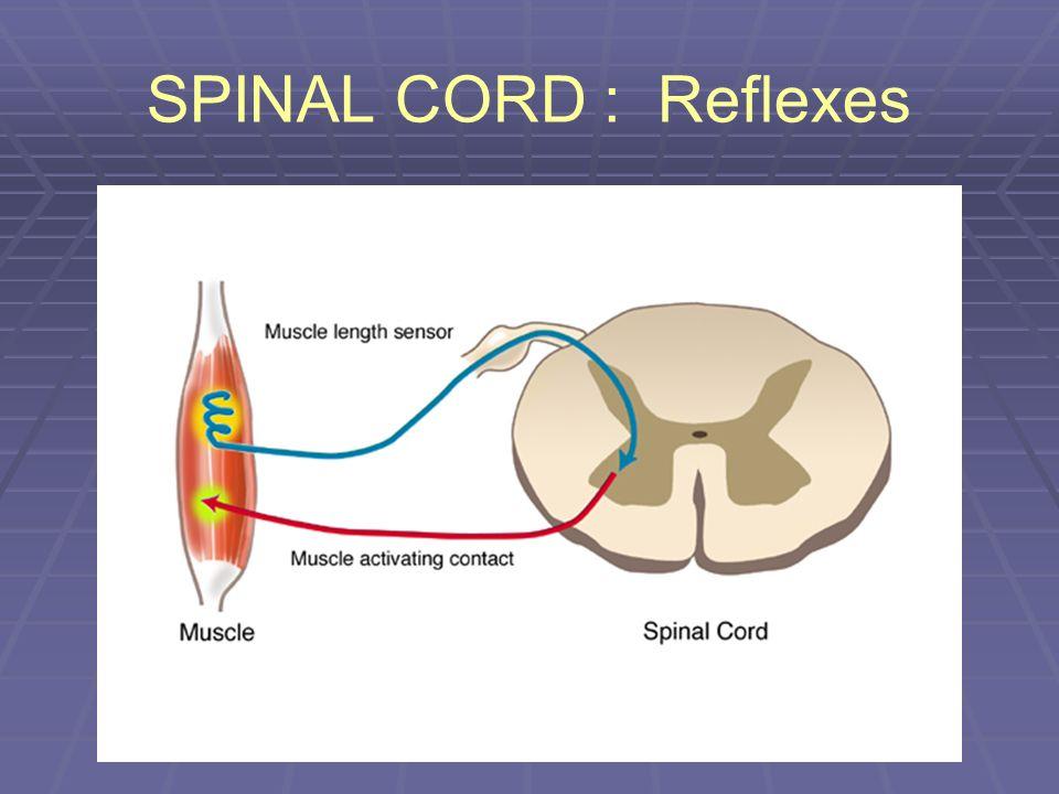 SPINAL CORD : Reflexes