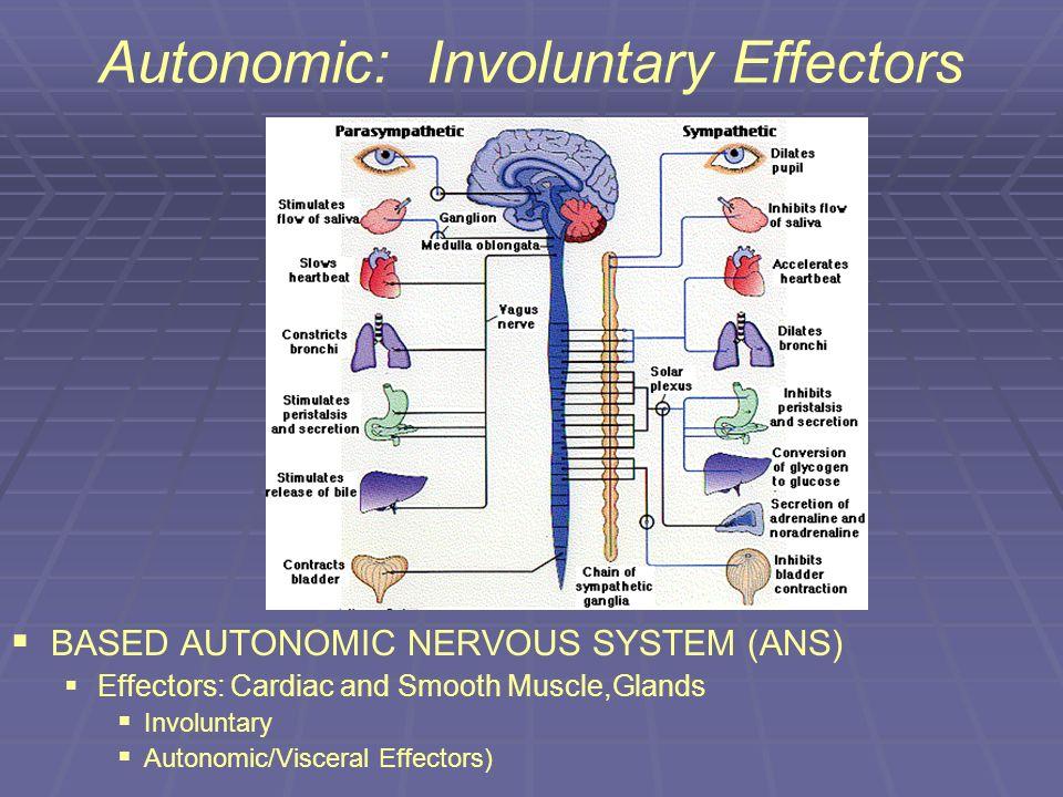 Autonomic: Involuntary Effectors BASED AUTONOMIC NERVOUS SYSTEM (ANS) Effectors: Cardiac and Smooth Muscle,Glands Involuntary Autonomic/Visceral Effec
