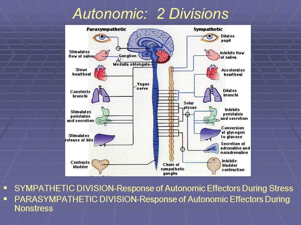 Autonomic: 2 Divisions SYMPATHETIC DIVISION-Response of Autonomic Effectors During Stress PARASYMPATHETIC DIVISION-Response of Autonomic Effectors Dur