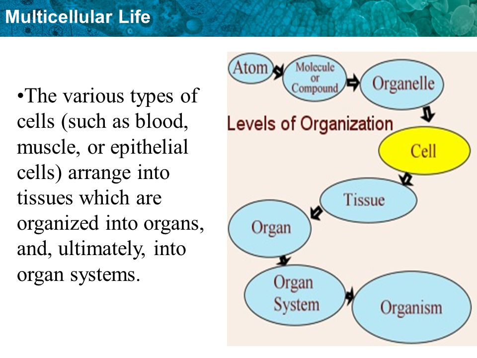 Multicellular Life The various types of cells (such as blood, muscle, or epithelial cells) arrange into tissues which are organized into organs, and,