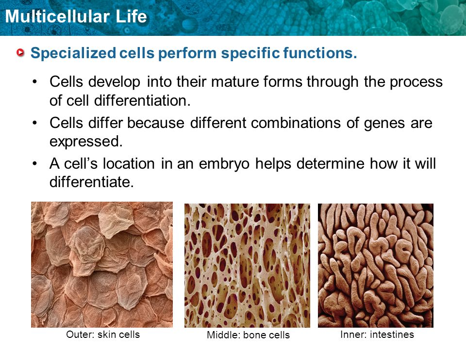 Multicellular Life Specialized cells perform specific functions. Cells develop into their mature forms through the process of cell differentiation. Ce