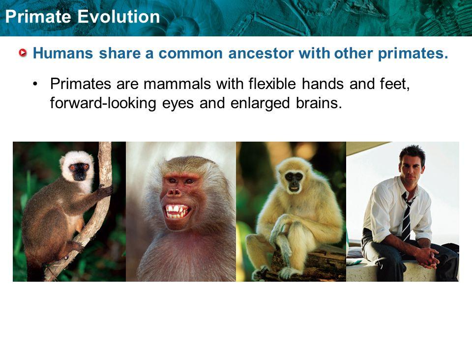 Primate Evolution Primates evolved into prosimians and anthropoids.
