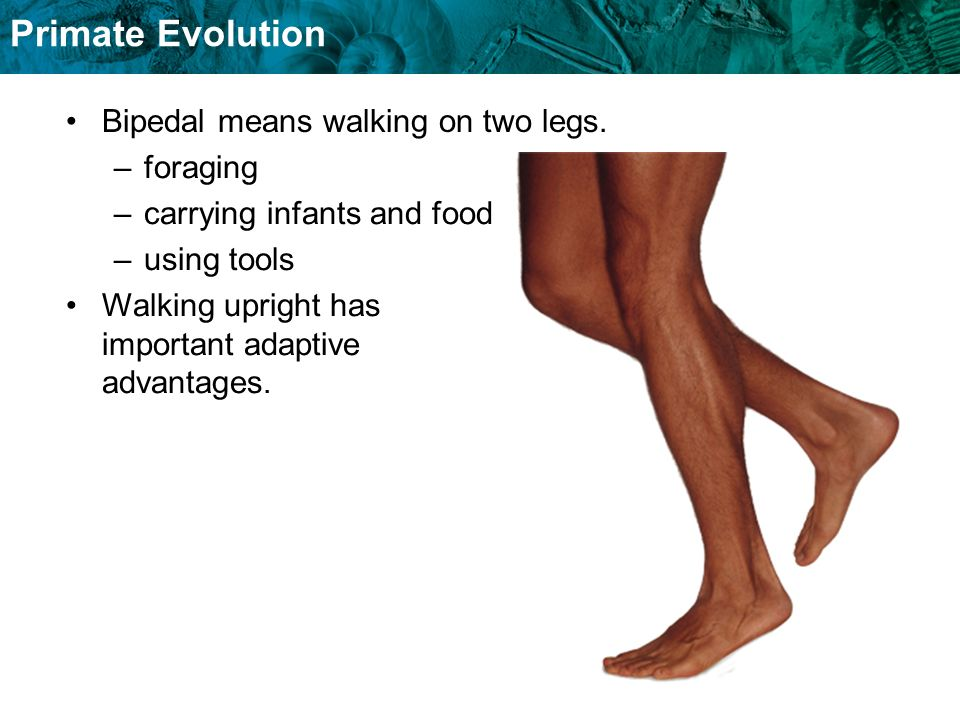 Primate Evolution Bipedal means walking on two legs. –foraging –carrying infants and food –using tools Walking upright has important adaptive advantag