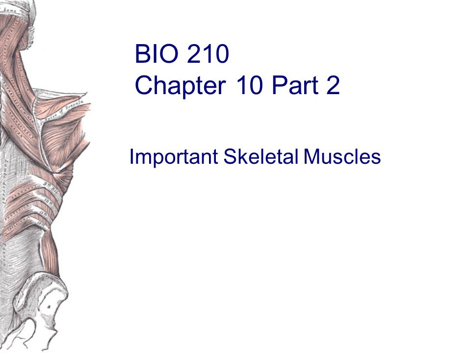 BIO 210 Chapter 10 Part 2 Important Skeletal Muscles