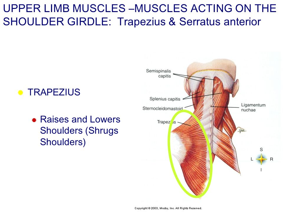 UPPER LIMB MUSCLES –MUSCLES ACTING ON THE SHOULDER GIRDLE: Trapezius & Serratus anterior TRAPEZIUS Raises and Lowers Shoulders (Shrugs Shoulders)