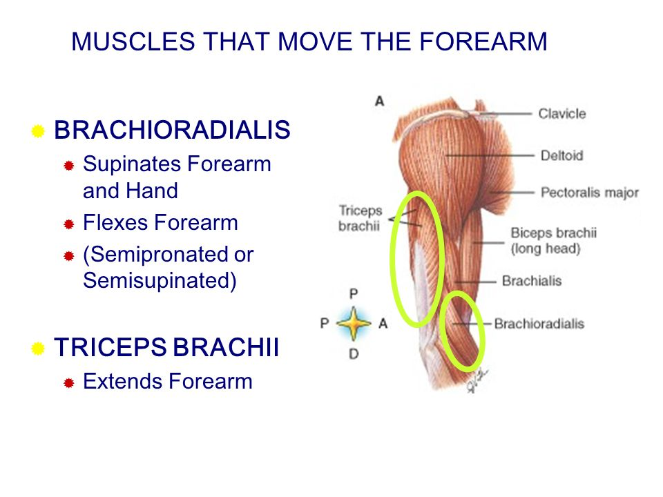 MUSCLES THAT MOVE THE FOREARM BRACHIORADIALIS Supinates Forearm and Hand Flexes Forearm (Semipronated or Semisupinated) TRICEPS BRACHII Extends Forear