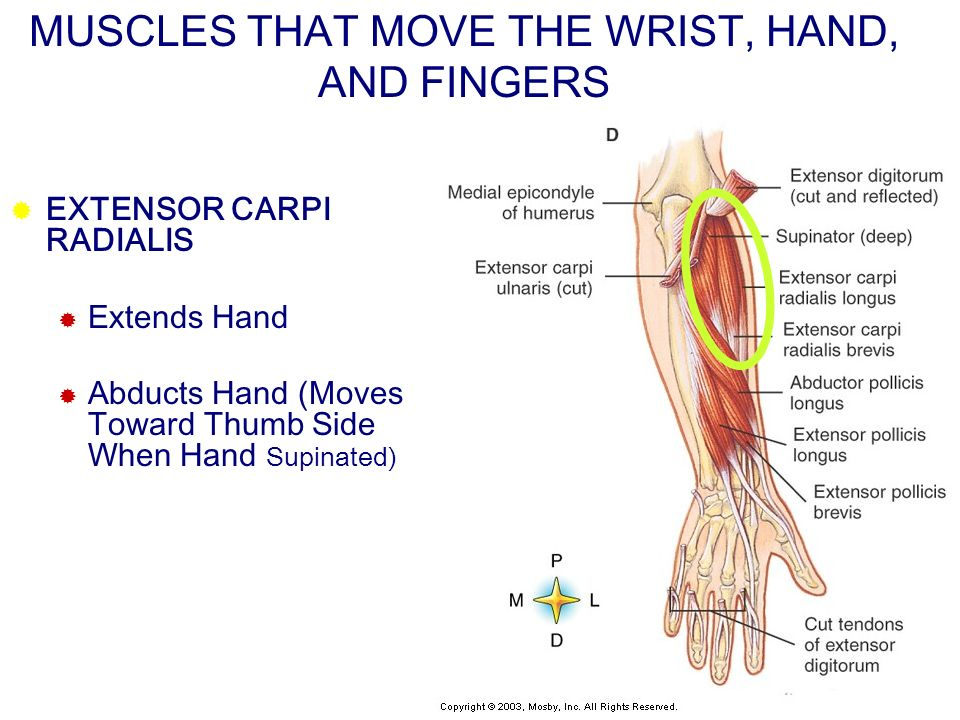 MUSCLES THAT MOVE THE WRIST, HAND, AND FINGERS EXTENSOR CARPI RADIALIS Extends Hand Abducts Hand (Moves Toward Thumb Side When Hand Supinated)