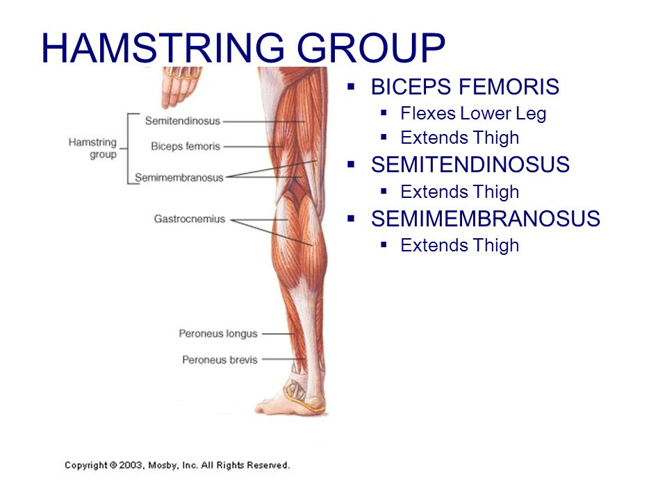 HAMSTRING GROUP BICEPS FEMORIS Flexes Lower Leg Extends Thigh SEMITENDINOSUS Extends Thigh SEMIMEMBRANOSUS Extends Thigh