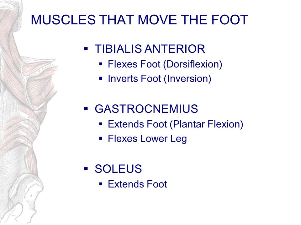 MUSCLES THAT MOVE THE FOOT TIBIALIS ANTERIOR Flexes Foot (Dorsiflexion) Inverts Foot (Inversion) GASTROCNEMIUS Extends Foot (Plantar Flexion) Flexes L