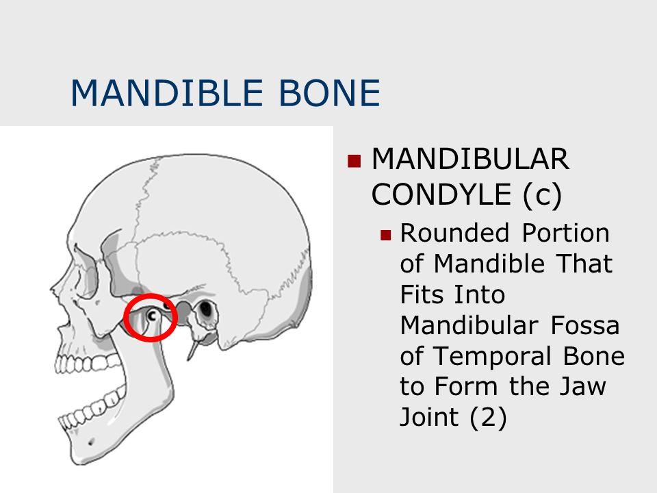 MANDIBLE BONE MANDIBULAR CONDYLE (c) Rounded Portion of Mandible That Fits Into Mandibular Fossa of Temporal Bone to Form the Jaw Joint (2)
