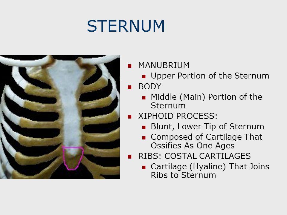STERNUM MANUBRIUM Upper Portion of the Sternum BODY Middle (Main) Portion of the Sternum XIPHOID PROCESS: Blunt, Lower Tip of Sternum Composed of Cart