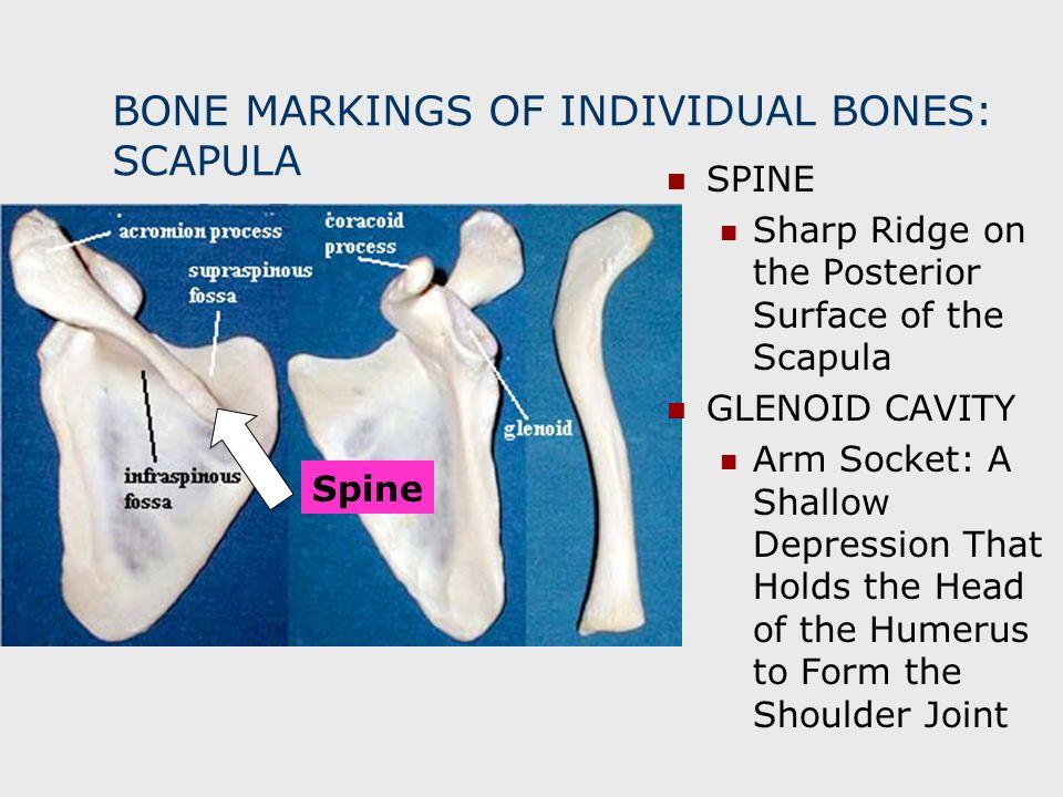BONE MARKINGS OF INDIVIDUAL BONES: SCAPULA Spine SPINE Sharp Ridge on the Posterior Surface of the Scapula GLENOID CAVITY Arm Socket: A Shallow Depres