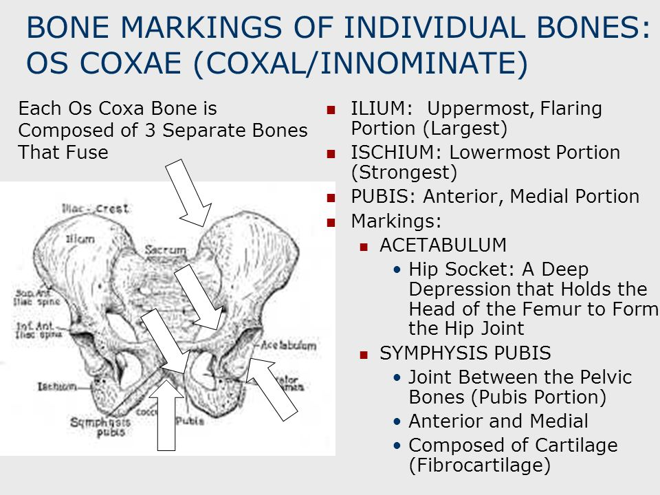 BONE MARKINGS OF INDIVIDUAL BONES: OS COXAE (COXAL/INNOMINATE) ILIUM: Uppermost, Flaring Portion (Largest) ISCHIUM: Lowermost Portion (Strongest) PUBI